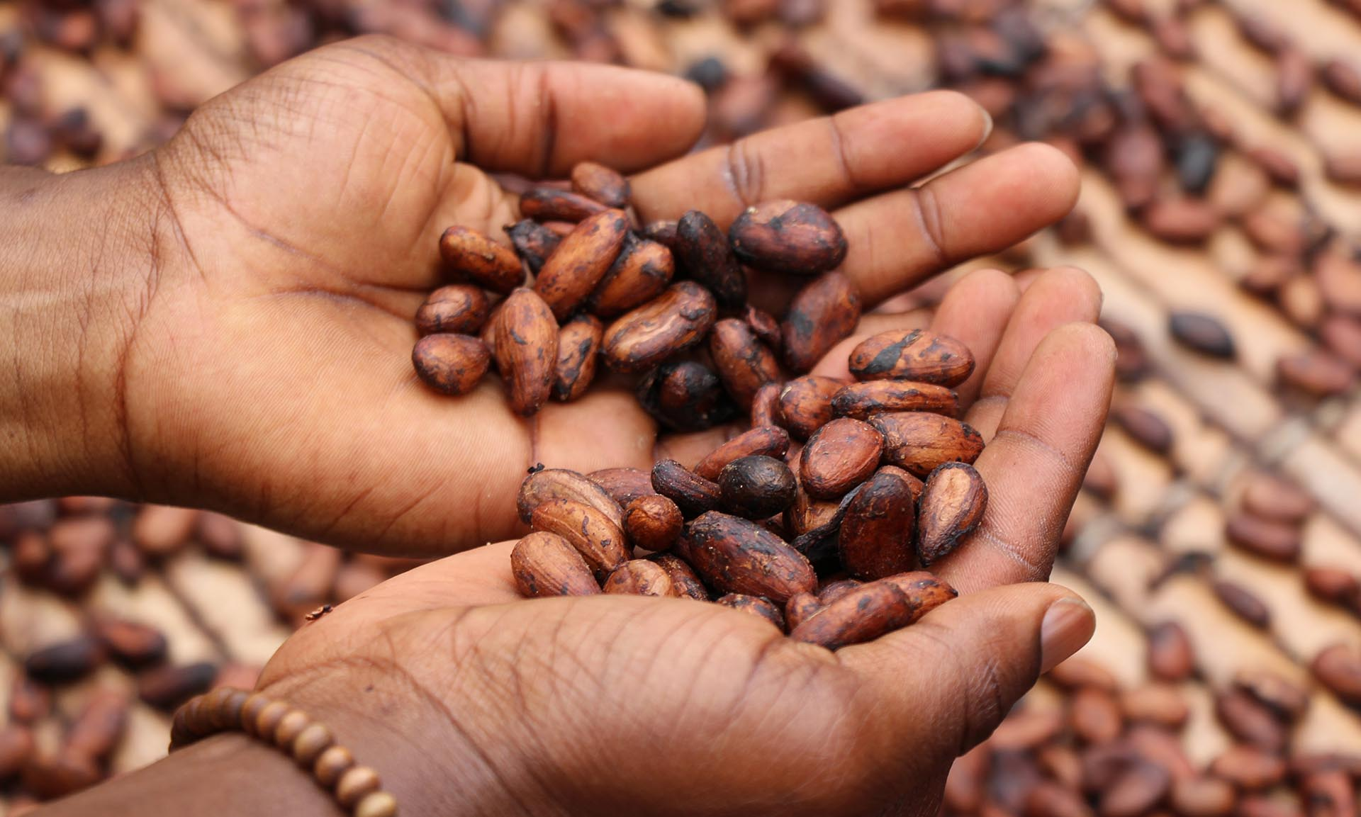 cupped hands holding cocoa beans