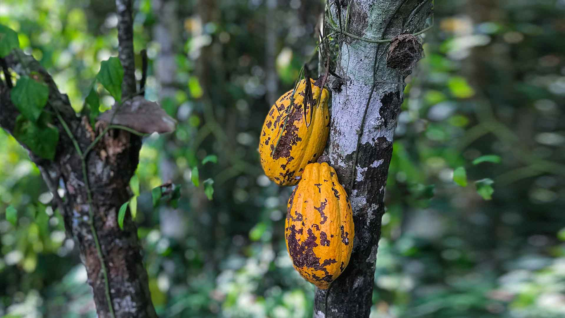 Cacao pods hanging from a tree in the jungle