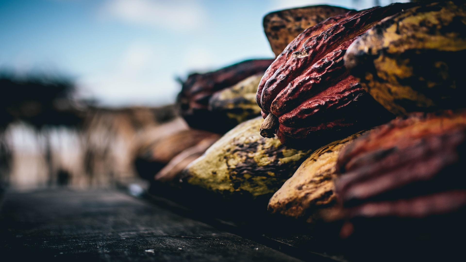 discarded cocoa pods