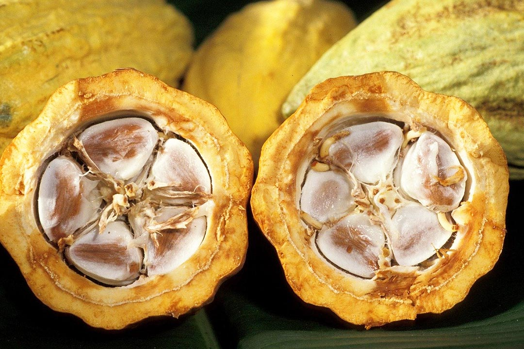 halved yellow cacao pods showing exposed beans