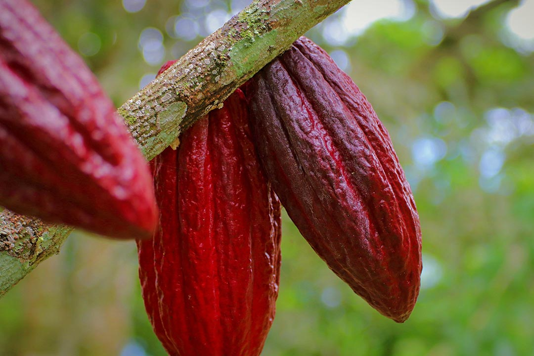 red cacao pods hanging from jungle tree